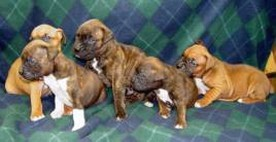 boxer puppies in group.jpg