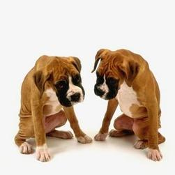 boxer puppies in tan with black and white spotsjpg.jpg