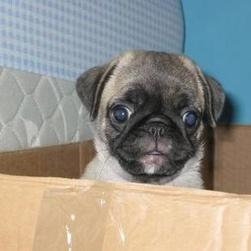 boxer puppy in box.jpg