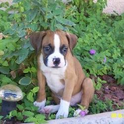 boxer puppy in the garden among the flowers.jpg
