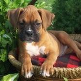 Boxer puppy on dog bedJPG.jpg