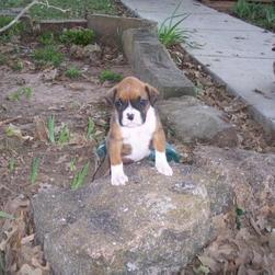 boxer puppy sits on a rock.jpg