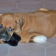boxer puppy_cute dog.jpg