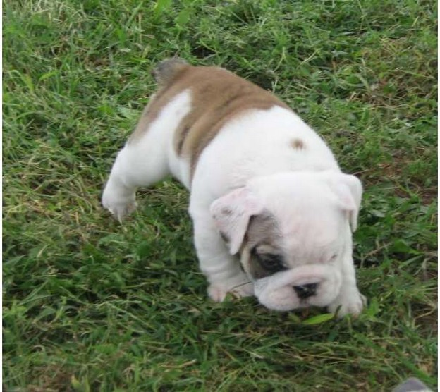 Bulldog pup in whit and light tan.jpg