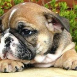 bulldog puppy in tan, black and white.jpg