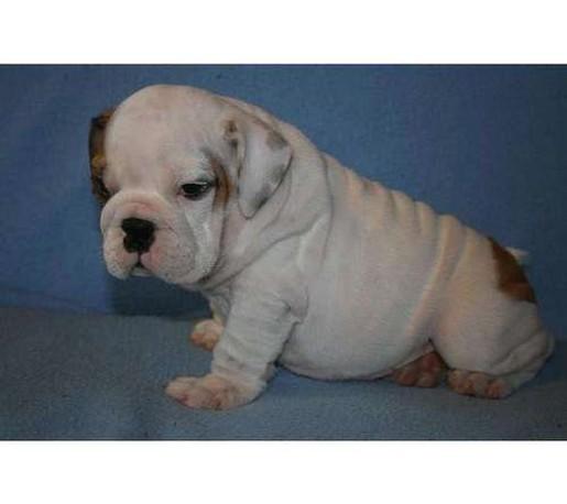 White english bulldog puppy - photo#22