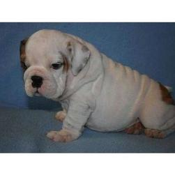 white English Bulldog puppy with spots.jpg