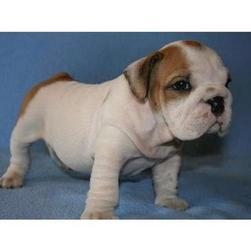young English Bull dog puppy picture.jpg