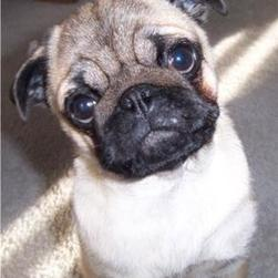 Pug Pups pictures