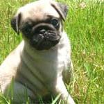 pug golden with brown spots.jpg