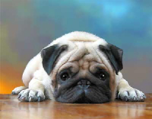 pug_cute on the floor.jpg