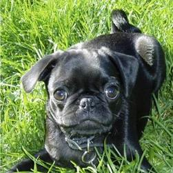 pug_shinny black.jpg