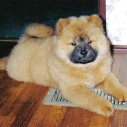 pciture of Chow Chow puppy.jpg