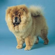 pictures of Chow puppies.jpg