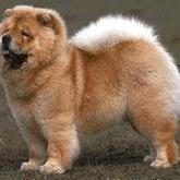 tan Chow Chow puppy with white tale.jpg