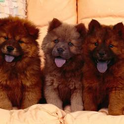 three brown Chow Chow Puppies.jpg