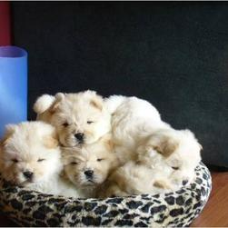5 cute cream chow puppies.jpg