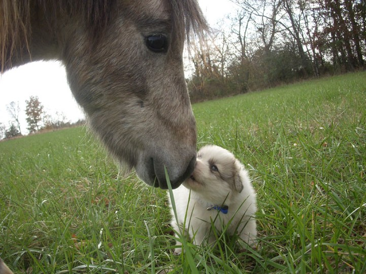 blue chow puppy kissing a horse_so cute.jpg