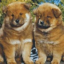 Chow Chow puppies photo.jpg
