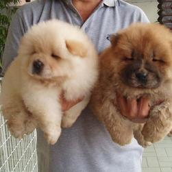 Chow Chow puppy breeders.jpg