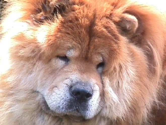 Chow Chow puppy close up face.jpg