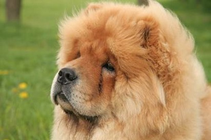 Chow Chow puppy face.jpg