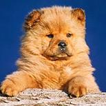 Chow Chow puppy pictures.jpg