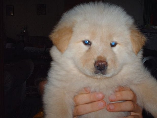 How Much Do Chow Chow Dogs Cost