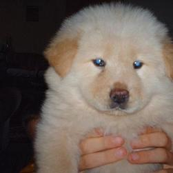 Chow Chow puppy with blue eyes.jpg