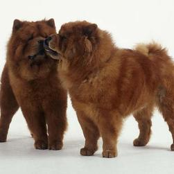 Chow Chows puppies.jpg
