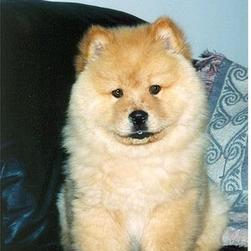 cream chow chow puppy.jpg