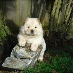 cute cream Chow  puppy.jpg