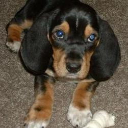 basset puppy in black with tan and white spots.jpg