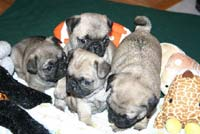 pugs in browns.jpg