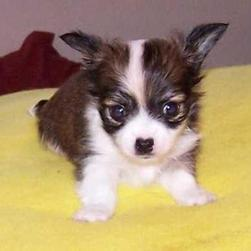 Chihuahua Puppies Pictures Gallery