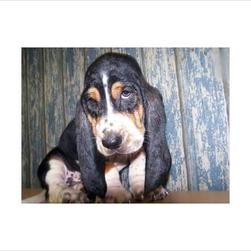 basset puppy in black, tan and white.jpg