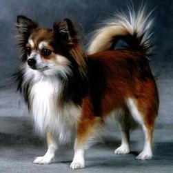 Chihuahua with long hair in three colors.jpg