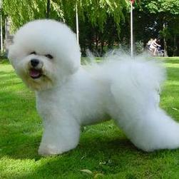 Bichon Frise in white.jpg