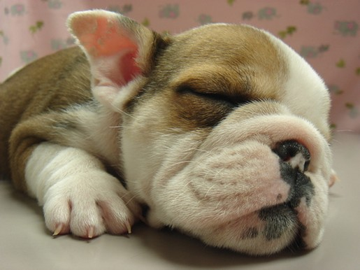 newborn English Bulldog Pup.jpg