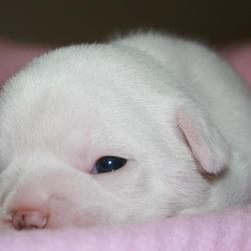 cute white Bulldog Puppy.jpg