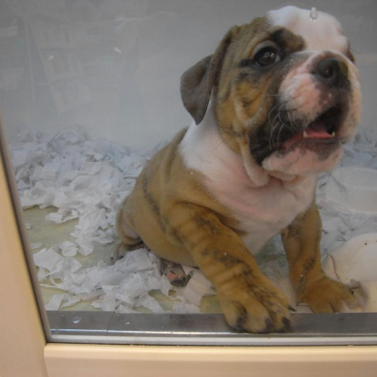 cute looking EnglishBulldog Puppy.jpg