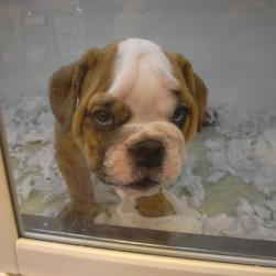 cute and young English Bulldog Puppy.jpg