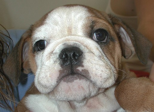 Bulldog Puppy.jpg