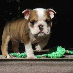 Bulldog Puppy playing.jpg