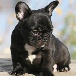 black french Bulldog Puppy.jpg