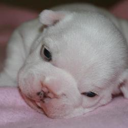adorable Bulldog Puppy.jpg