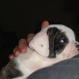 young cute whtie and black Bulldog Puppy.jpg