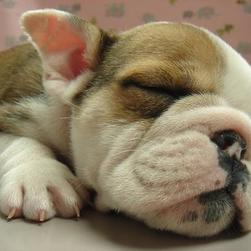 young Bulldog Puppy sleeping.jpg