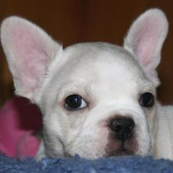 white French Bulldog Puppy with big ears.jpg
