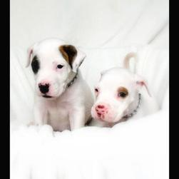 two white American Bulldog Puppies with dots.jpg